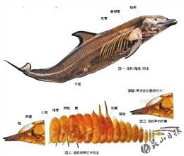 海豚的声呐系统