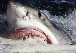 关于鲨鱼的趣事